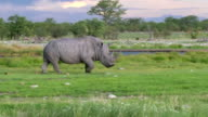 Black  Rhino in Africa video