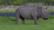 Black Rhino in the Etosha National Park video