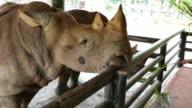 Black Rhino video
