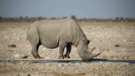 Black rhinoceros drinking water video