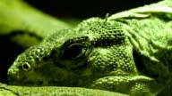 Black round eyes of the Utila spiny-tailed iguana. video