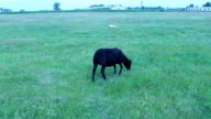 black sheep grazing on the green grass of pasture video