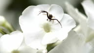 A black spider on the white flower video