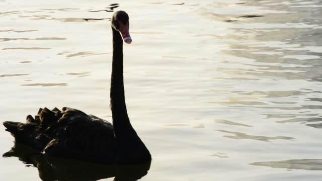 Black swan swimming in a calm lake at sunset video