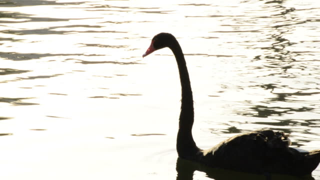 Black swan swimming in a calm lake video