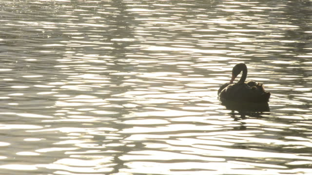 Black swan swimming in a lake at sunset video
