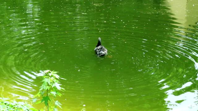 Black swan swimming in green water. Swan cleaning wings with red beak video