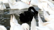 Black swan swimming out amongst white swans video