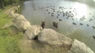 2 Black swans and plenty of ducks. video