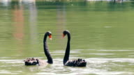 black swans creating a heart shape on the lake video