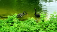 Black swans swim in zoo pond with green water. Swans with red peaks video