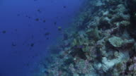 Black trigger fish schooling undersea, Indonesia video