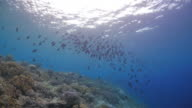 Black Triggerfish schooling under sea surface video