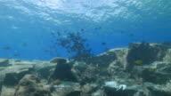 Black Triggerfish schooling undersea video