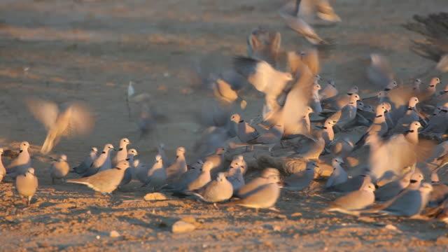 Black-backed Jackal hunting doves video
