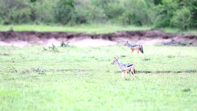 Black-Backed Jackals video