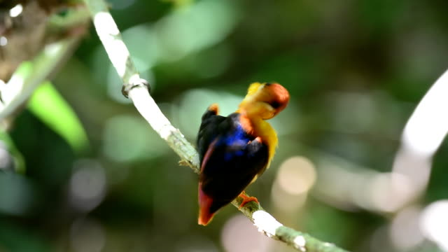 Black-backed Kingfisher bird video