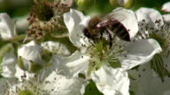 blackberry (Rubus caesius) blossoms and honey bee collecting nectar video