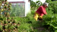 Blackberry grow and farmer woman weed strawberry plants video