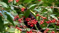 Blackbird eating red berries video