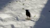 SLOW MOTION: Blackbird eating seeds on fresh snow video
