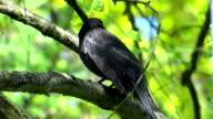 Blackbird flies away video