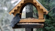 blackbird in a bird feeder house at winter time video