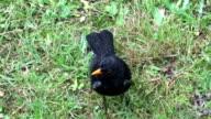 Blackbird in the rain video