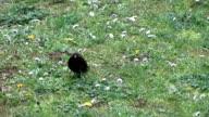 Blackbird in the wind video