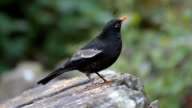 Blackbird male perched on a stone video
