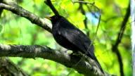 Blackbird on a bough video