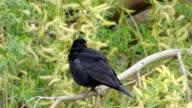 Blackbird on tree branch video