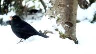 Blackbird Poops in the Snow video