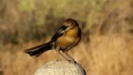 Blackbird sitting on wooden pole video