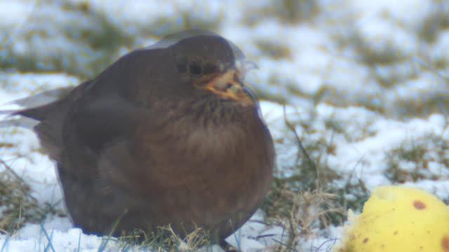 blackbird video