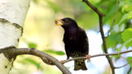 HD Blackbird with food in her mouth video