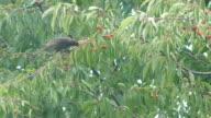 Blackbirds Into The Garden video