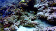 Black-blotched porcupinefish on coral reef on the Maldives video