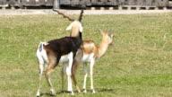 Blackbuck (Antilope cervicapra) video