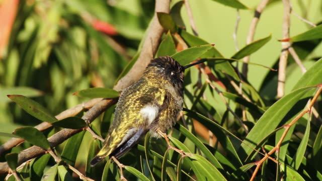 Black-Chinned Hummingbird Male (HD) video