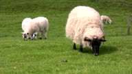 Blackface sheep and her lambs grazing field video