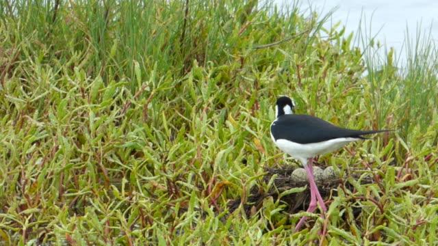 Black-Necked Stilt (Wading Bird) Climbing Onto Her Nest, Settling Down on Her  Four Speckled Eggs video