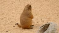 Black-Tailed prairie dog, Cynomys ludovicianus video