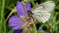 Black-veined White butterfly video