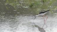 Black-winged Stilt bird feeding. video