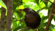 Blackwird (Turdus merula)...close up 2 video
