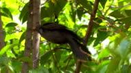 Blackwird (Turdus merula)...making balance video