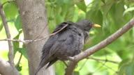 Blackwird (Turdus merula) video