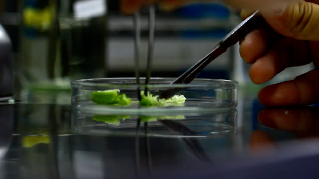 blade cut orchid seed in biotechnology for plant tissue culture video