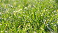 HD DOLLY: Blades of Grass In The Morning video